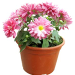Indian Chrysanthemum Plant